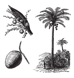 Coconut palm vintage engraving vector