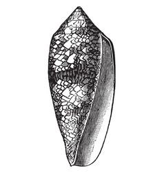 Conus textilis vintage vector