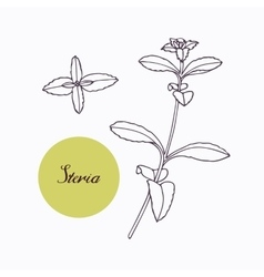 Hand drawn stevia branch with leaves isolated on vector