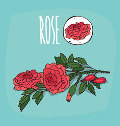 set of isolated plant rose flowers herb vector image