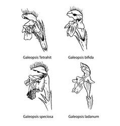 Galeopsis flowers botanical vector