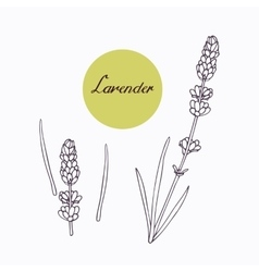 Hand drawn lavender branch with leaves isolated on vector