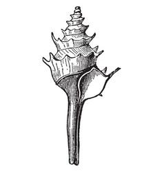 Fusus pagodus vintage vector