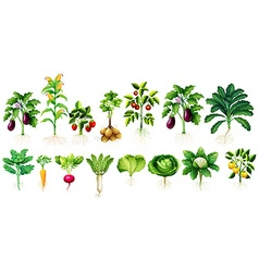 Many kind of vegetables with leaves and roots vector image vector image