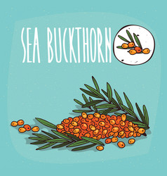 set of isolated plant sea buckthorn fruits herb vector image