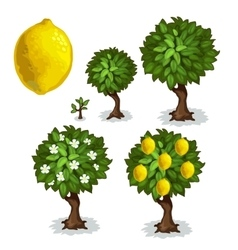 Planting and cultivation of lemon tree vector image vector image