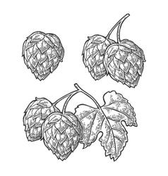 Hop herb plant wih leaf vintage engraved vector image vector image