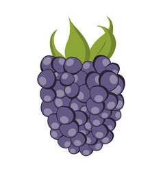 isolated blackberry vector image