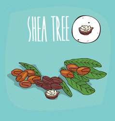 Set of isolated plant shea tree nuts herb vector