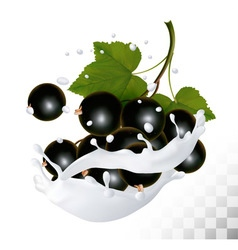Blackcurrants in a milk splash on a transparent vector