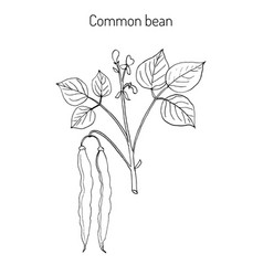 common bean phaseolus vulgaris vector image