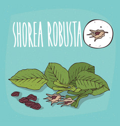 set of isolated plant shorea robusta fruits herb vector image vector image