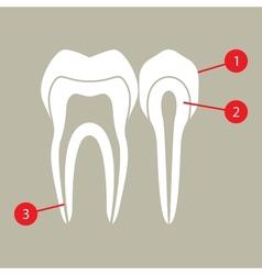 Diagram of teeth vector image