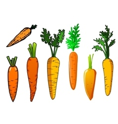 Fresh isolated orange carrot vegetables vector