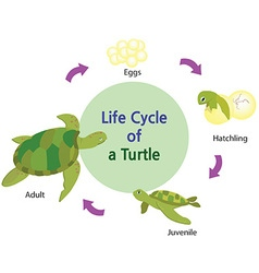 Lifecycle of a turtle vector