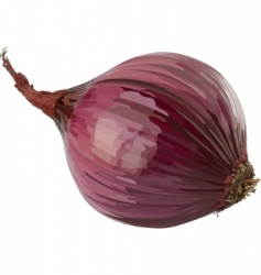 red onion vector image vector image