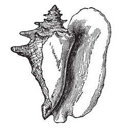 Shell of strombus gigas vintage vector