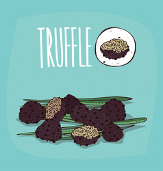 set of isolated plant truffle mushrooms herb vector image vector image