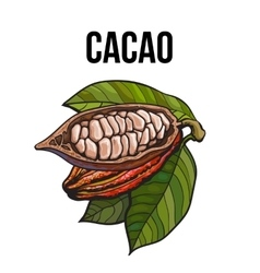 Hand drawn whole and half cacao fruits with leaves vector