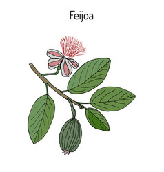 feijoa acca sellowiana vector image vector image
