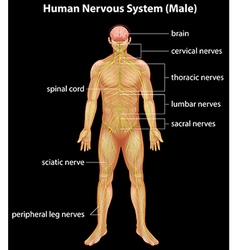 Human nervous system vector image