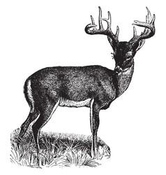Virginia deer vintage vector