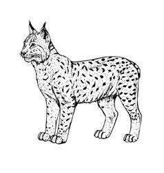 Hand drawn lynx vector