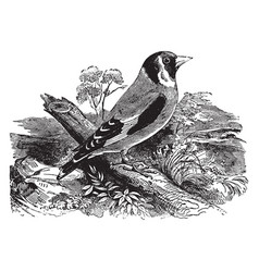 Common goldfinch of europe vintage vector