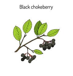 black chokeberry aronia melanocarpa medicinal vector image