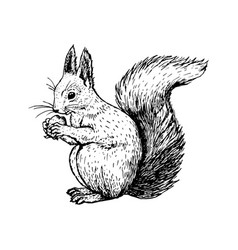 Hand drawn squirrel sketch vector