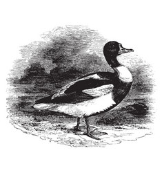 Common sheldrake duck vintage vector