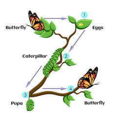 Life cycle of butterfly vector