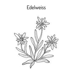Edelweiss hand drawn vector