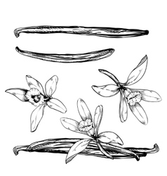 Vanilla pods and flower isolated on white vector