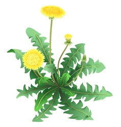 Dandelion flower isolated vector