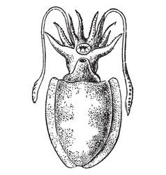 Sepia officinalis vintage vector