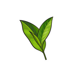 Sketch cartoon tea leaves branch isolated vector