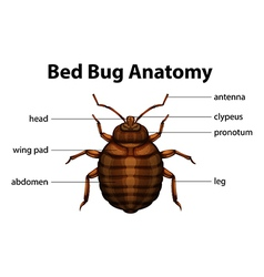 Bed bug anatomy vector