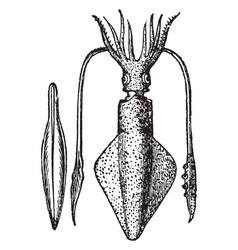 Loligo vulgaris with its pen or internal bone vector