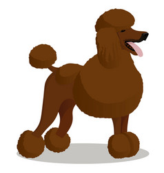 standart poodle white cartoon dog vector image