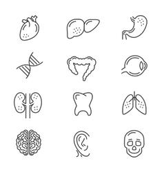 Human organs line icons vector