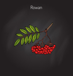 Rowan or mountain-ash vector