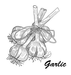 Hand drawn garlic stylized black and white vector