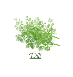 Fresh twigs of fresh tasty dill in a realistic vector