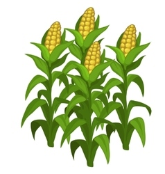 Planting and cultivation of corn isolated vector
