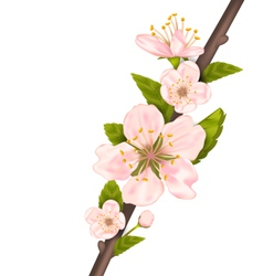 Close up cherry blossom branch of tree vector