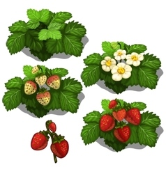 Planting and cultivation of strawberry vector image vector image