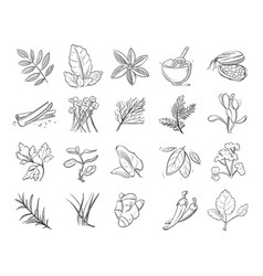 vintage hand drawn herbs and spices sketch vector image