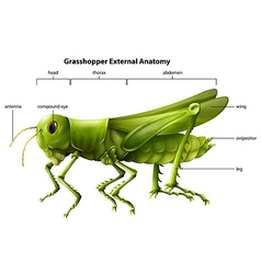 Anatomy grasshopper vector