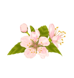 Cherry Blossom with Leaves Isolated on White vector image
